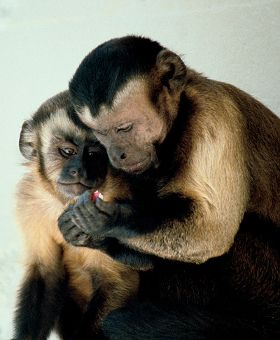 Two Capuchin Monkeys